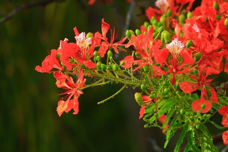 kwiaty pawia obrazy stock