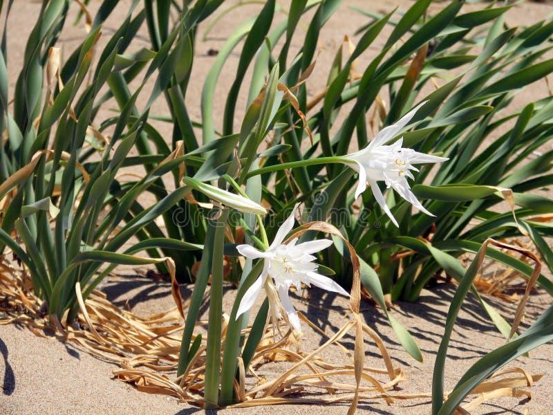 Kwiaty piasek leluja obraz royalty free