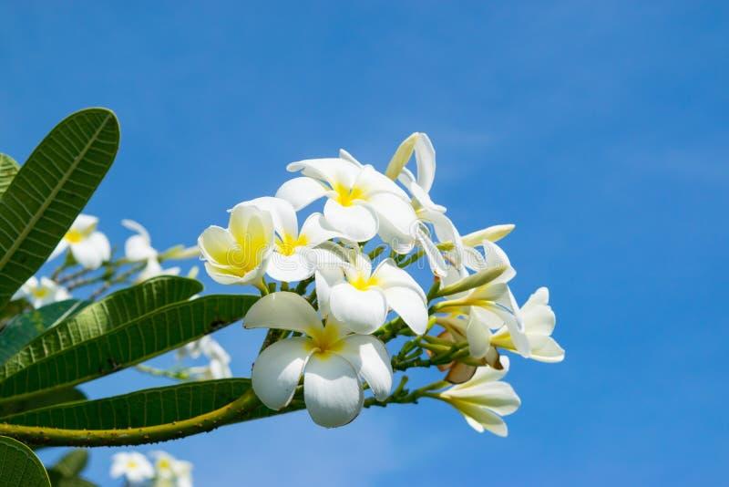 Kwiaty plumeria - makro- przy niebieskiego nieba tłem zdjęcia royalty free