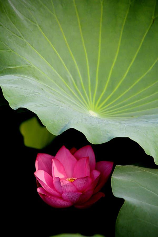 Kwiaty pod lotosowym liściem są jak nieśmiałe dziewczyny zdjęcia stock
