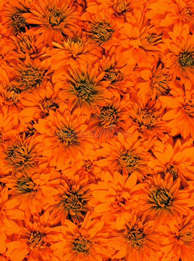 kwiaty pomarańczy wielu zdjęcia royalty free