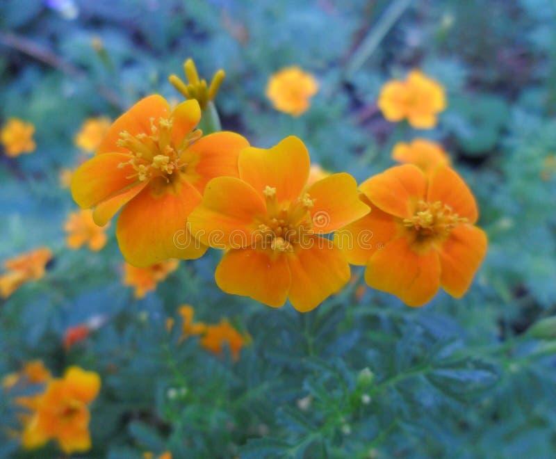 kwiaty pomara?czy zdjęcie royalty free