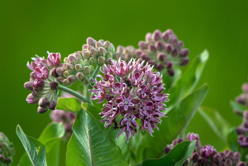 Kwiaty Pospolita trojeść niosą zwijacza i kilka mrówek w wiośnie w bagnie obraz royalty free