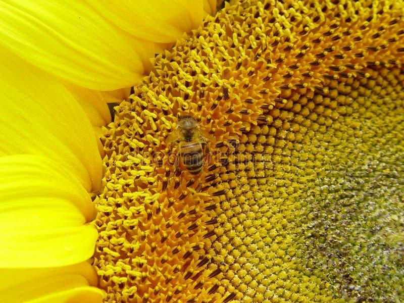 kwiaty pszczoły fotografia stock