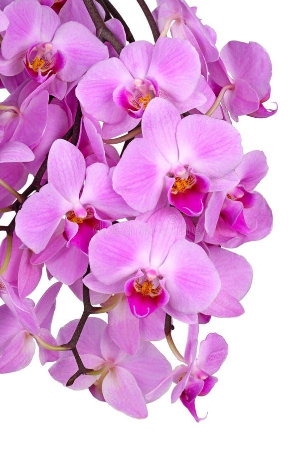 Kwiaty purpurowa Phalaenopsis orchidea odizolowywająca zdjęcie stock