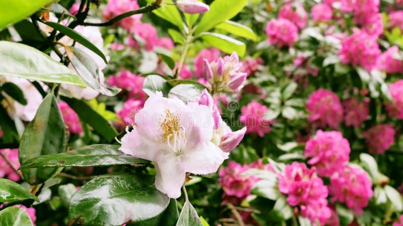 Kwiaty różaneczniki w ogródzie fotografia royalty free