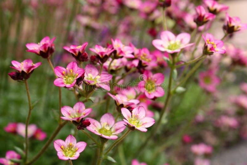 kwiaty różowią małego obrazy stock