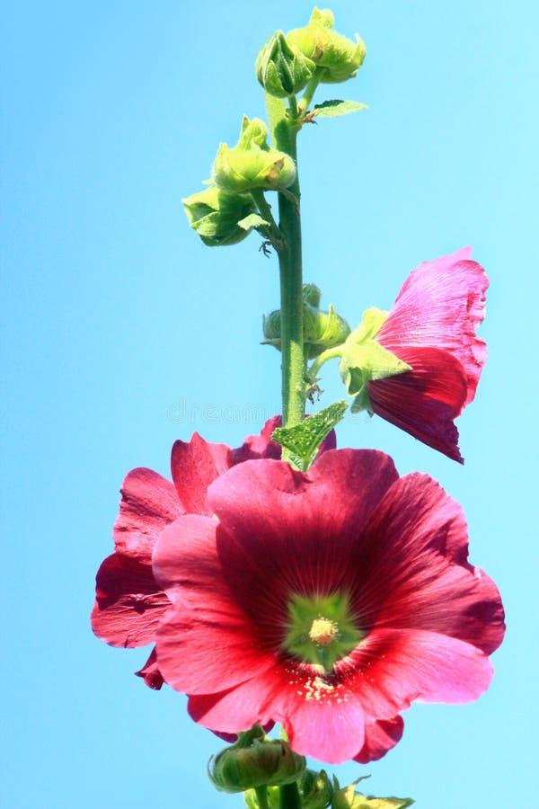 Kwiaty różowy ślaz obrazy royalty free