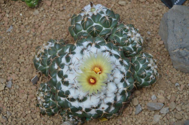 Kwiaty R Z kaktusa obrazy royalty free