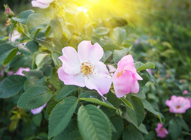Kwiaty rosehip obraz royalty free