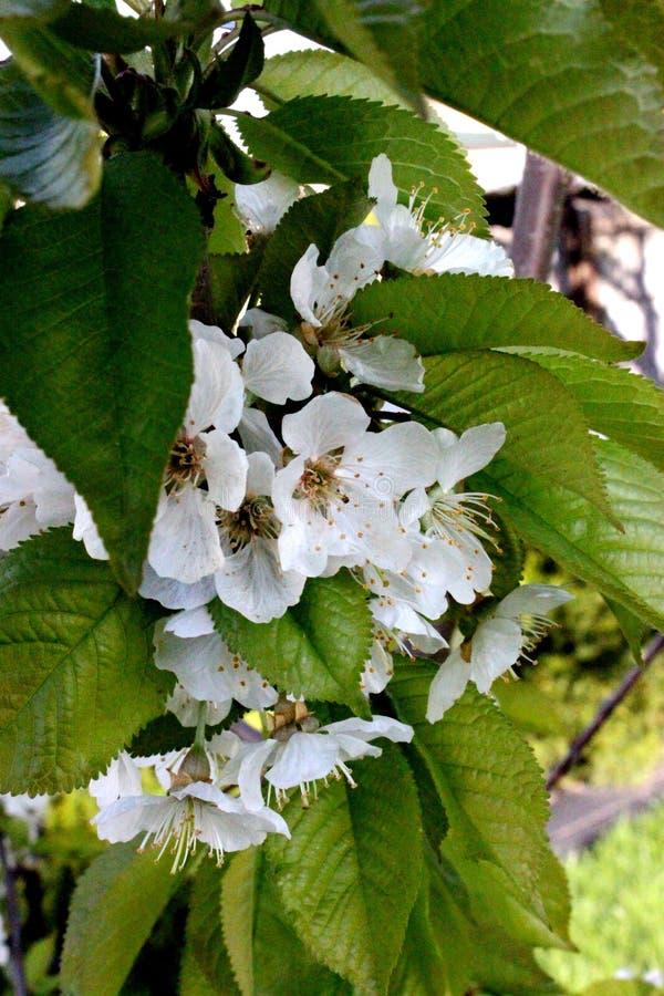 Kwiaty słodka wiśnia zdjęcie stock