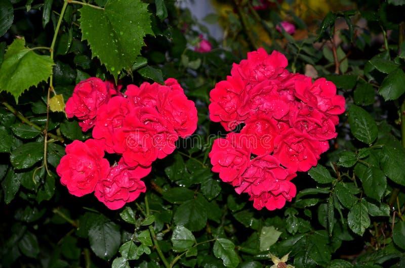 Kwiaty tkana róża zakrywają z kroplami woda obrazy royalty free