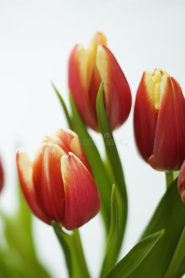 kwiaty tulipanu obraz royalty free