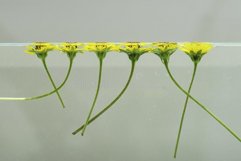 Kwiaty unosi się na wodzie 1 obrazy royalty free