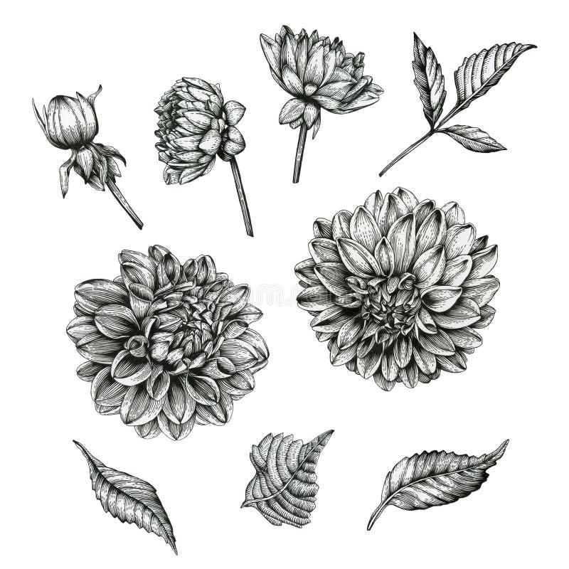 Kwiaty ustawiający dalie i liście royalty ilustracja