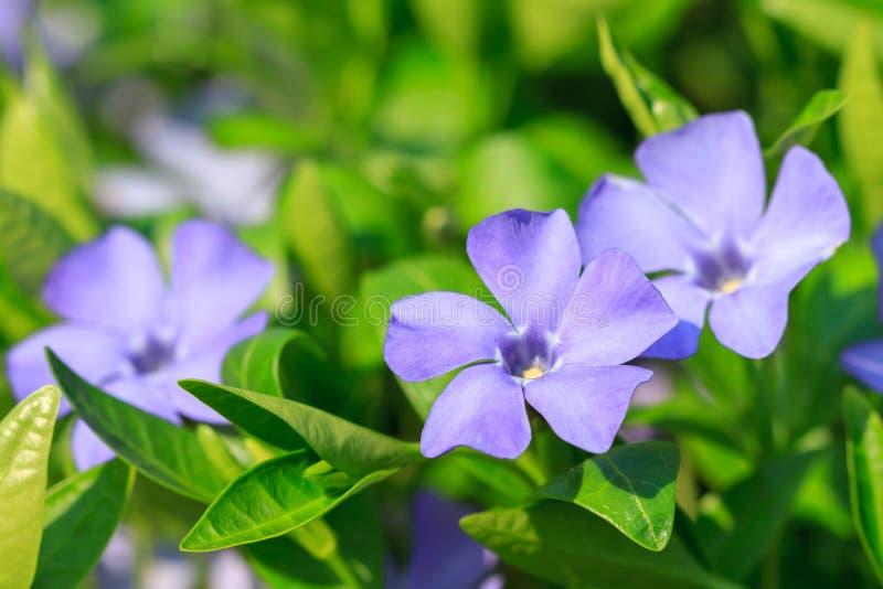 Kwiaty vinca nieletni zdjęcie stock
