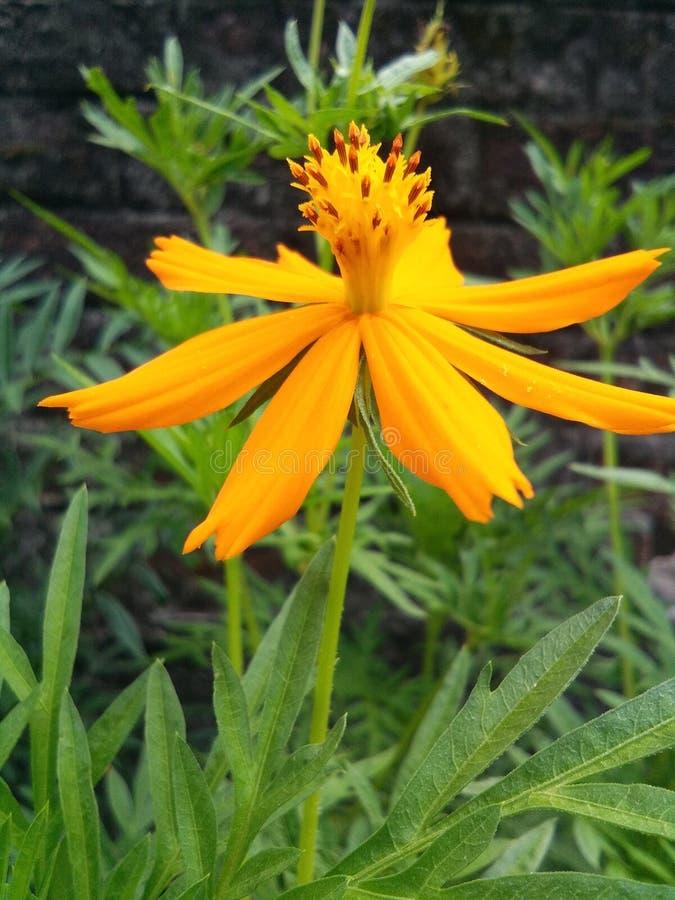 Kwiaty w Assam zdjęcie stock