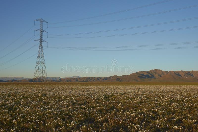 Kwiaty w Atacama pustyni w Chile zdjęcia stock