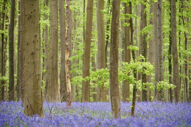 Kwiaty w drewnach blisko Hala, Belgia zdjęcia royalty free