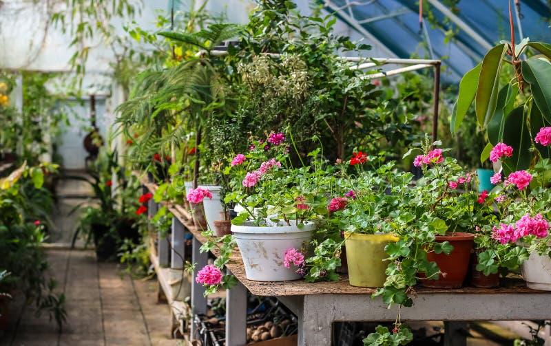 Kwiaty w garnkach w szklarni zdjęcie royalty free