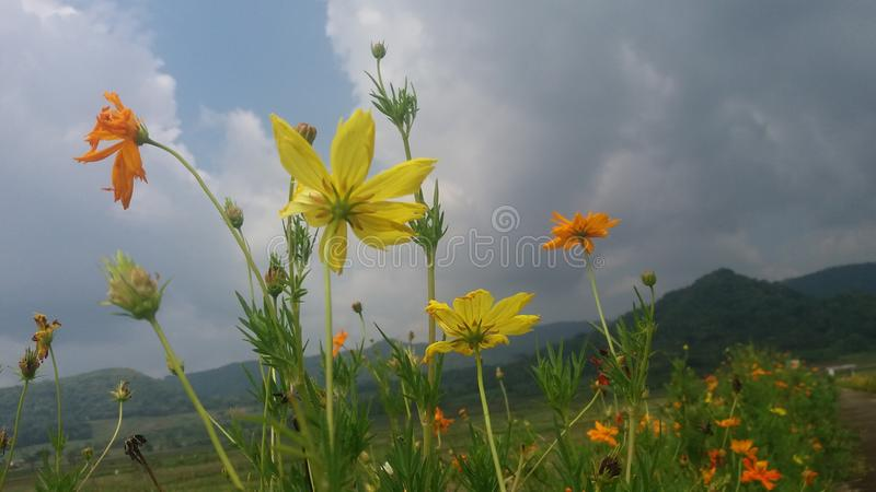 Kwiaty w grobelnym kayang jogja zdjęcia stock