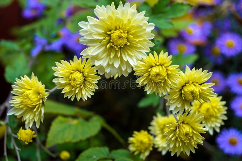 Kwiaty w jesieni, żółte chryzantemy r śmignięcie w ogródzie obraz stock