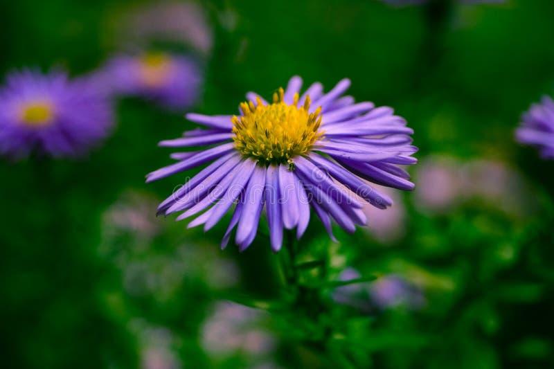 Kwiaty w jesieni, małej purpurowej stokrotki makro- fotografie obraz stock