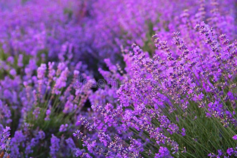 Kwiaty w lawendowych polach obraz royalty free