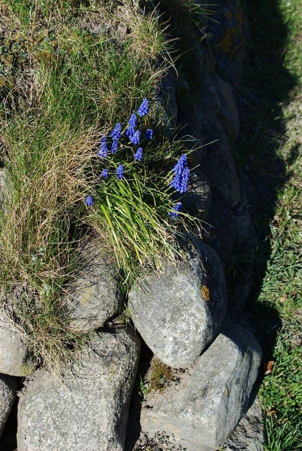 Kwiaty w obszarze przybrzeżnym wyspa Sylt fotografia royalty free
