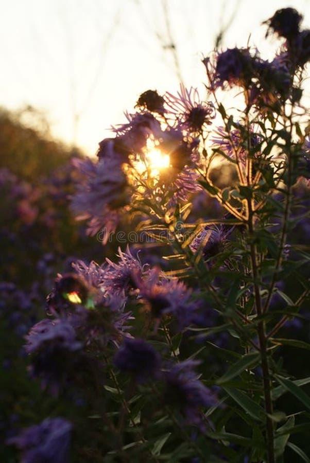 Kwiaty w ogródzie piękny zachód słońca obrazy royalty free