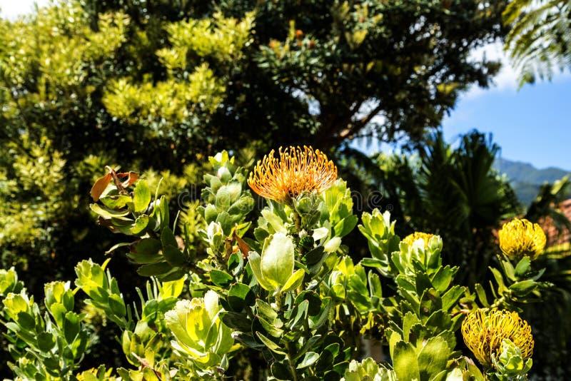 Kwiaty w Santana w maderze są pięknym wioską na północnym wybrzeżu znają swój małymi pokrywającymi strzechą trójgraniastymi domam obraz stock