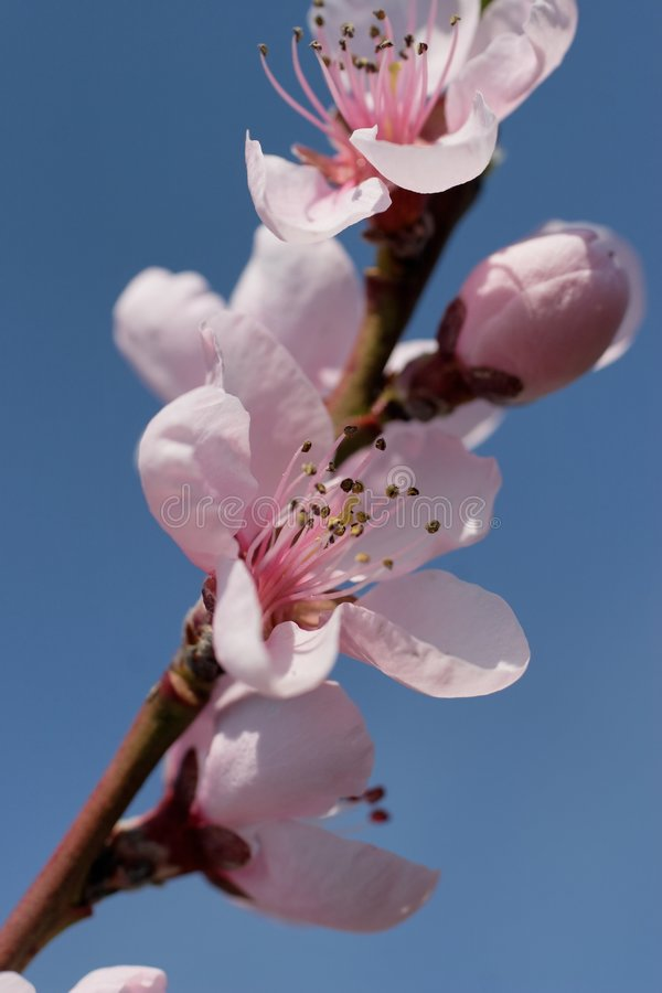 kwiaty wiśni fotografia royalty free