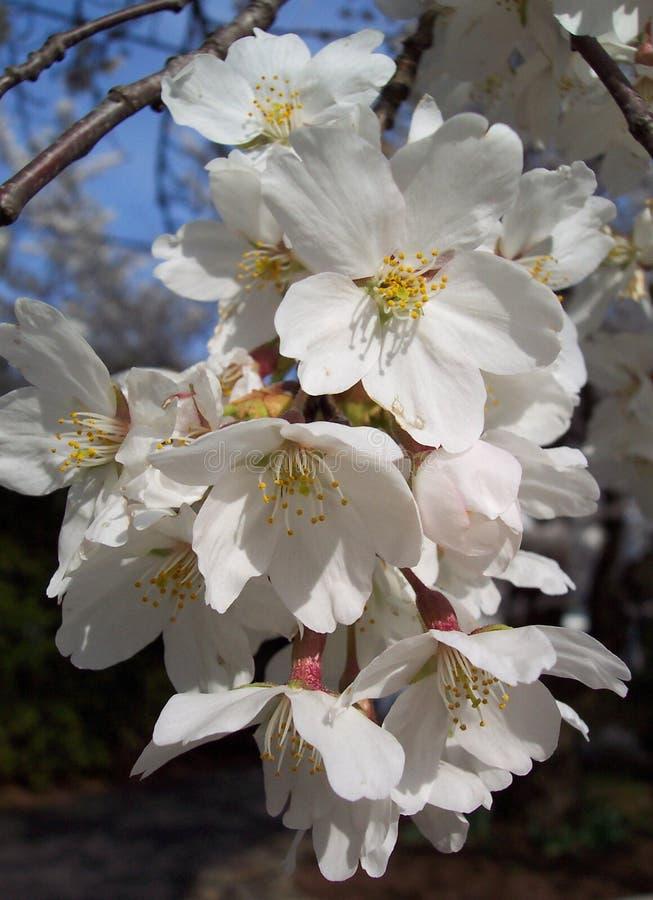 kwiaty wiśni makro fotografia royalty free