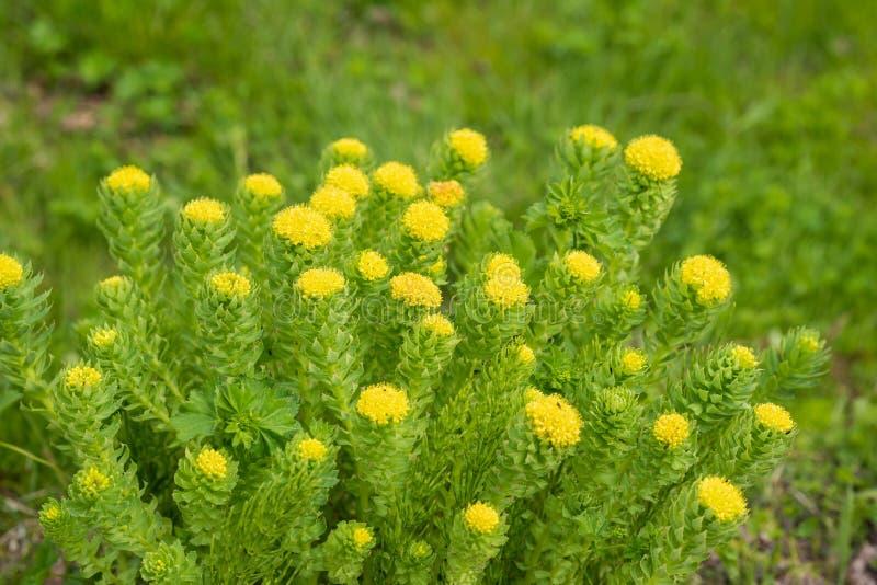 Kwiaty z żółtymi kwiatostanami zdjęcia stock