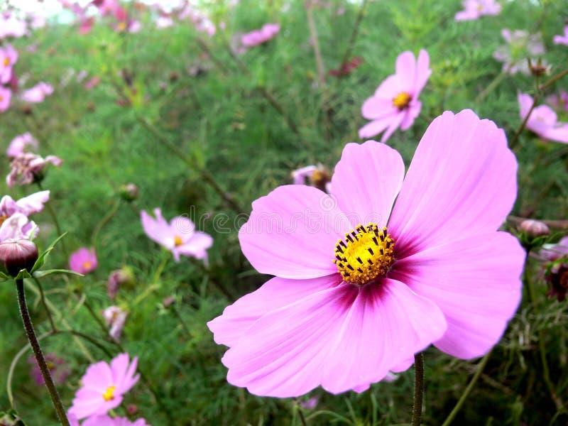 Kwiaty z imię «kosmosami zdjęcie royalty free