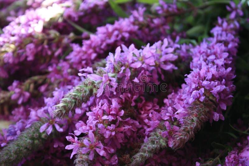 Kwiaty zieleń, bez, Ivan herbata, obrazy royalty free