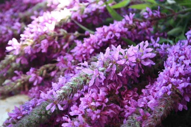 Kwiaty zieleń, bez, Ivan herbata, obrazy stock