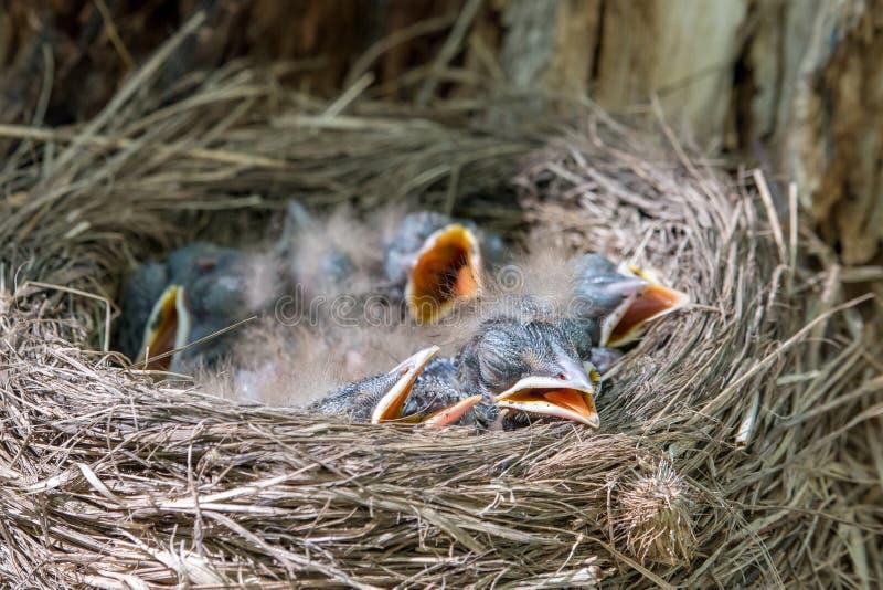 Kwiczołów kurczątka kłama w gniazdowych Turdus pilaris fotografia stock