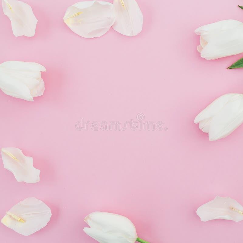 Kwiecista rama biali tulipany kwitnie na różowym pastelowym tle Mieszkanie nieatutowy fotografia royalty free