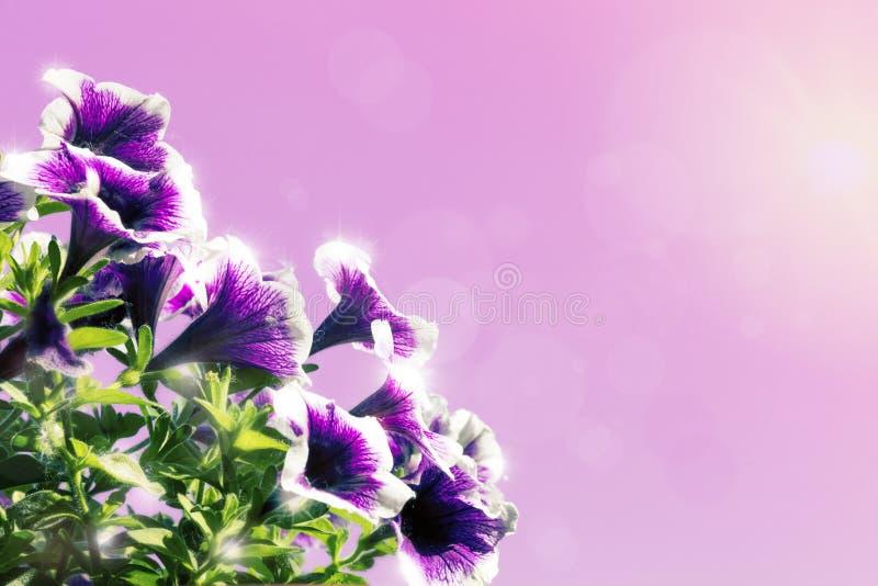 Kwieciste tło dekoraci menchii i purpur kwiatów petunie obraz stock