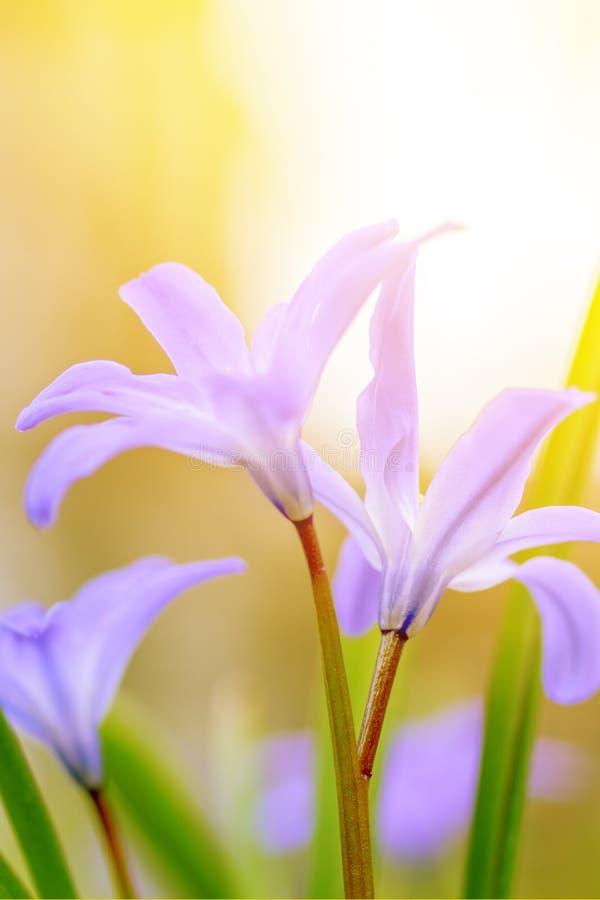 Kwiecistego wiosny natury krajobrazu dziki bez kwitnie w łące na tła Pogodnym świetle Marzycielski delikatny wizerunek Miękka sel obraz stock