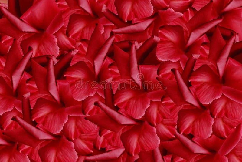 Kwiecisty czerwony piękny tło od róż tła składu powoju kwiatu tulipany biały Tło płatki czerwone róże fotografia stock
