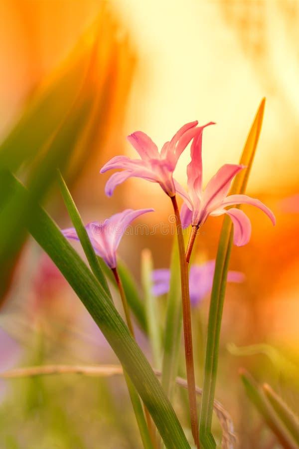Kwiecisty lato kwitnie na łące na pogodnym natury tle Marzycielski delikatny wizerunek przy zmierzchem Mi?kka selekcyjna ostro?? obraz stock
