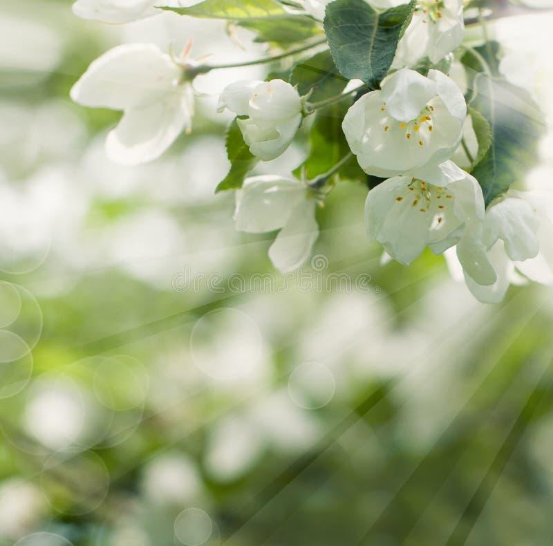 Kwiecisty okwitnięcia tło z wiosna kwiatami zdjęcie royalty free