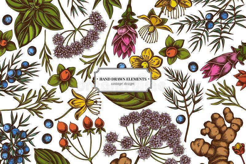 Kwiecisty projekt z barwionym arcydzięglem, basil, jałowiec, hypericum, rozmaryn, turmeric royalty ilustracja
