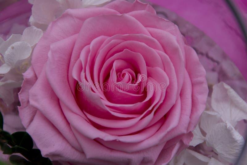 Kwiecisty przygotowania kwiat różową różę zdjęcie stock