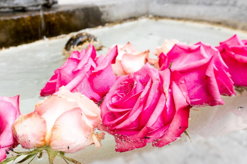 Kwiecisty przygotowania r??owe r??e w basenie stara kamienna fontanna zdjęcia stock