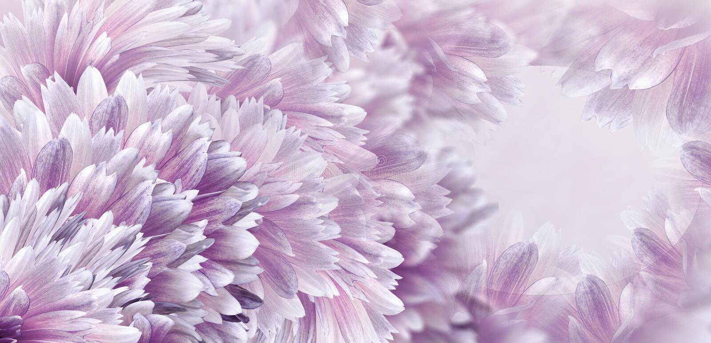 Kwiecisty purpurowy pi?kny t?o Kwiaty i p?atki rewolucjonistki dalia Zako?czenie t?a sk?adu powoju kwiatu tulipany bia?y Kartka z fotografia stock