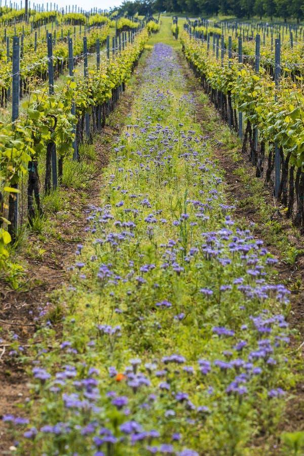 kwiecisty rozstaw w organicznie winnicy, Moravia, republika czech obrazy royalty free