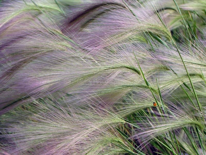Kwiecisty tło, Hordeum jubatum z biedronką, fotografia stock
